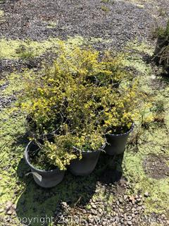 Gold Barberry