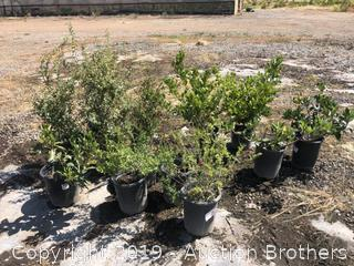 Red Sage, Hawthorne, White Spiraea