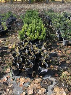 Boxwood, Solanum